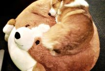 Corgis are love! ❤️