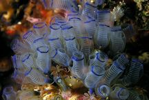 Tunicates / Sea Squirts, Salps and their near relatives