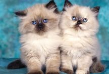 animals- cats / by Cindy Hertz