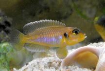 Ocellatus gold