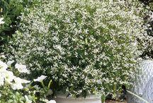 Euphorbia diamond
