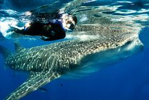 Whale Sharks in the Caribbean / One of the best things to do in Cancun is swimming with whale sharks visiting the Mexican Caribbean from June to August, at the height of whale shark season.  To learn more head to   https://aquaworld.com.mx/en/swimming-with-whale-sharks-cancun/