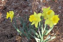Flowers: Daffodils / Daffodils in the garden are a common sight each spring. To get the most out of growing daffodil bulbs, simply use the following articles. Here you will find tips on daffodil propagation, daffodil care, types of daffodils, common daffodil problems and more. Get started now and have fun growing these cheery bulbs in your garden.