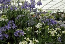 Blue Flowers / Plants with flowers in shades of true blue.