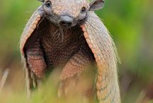 Armadillo reference