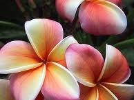 Frangipani Plants & Flowers