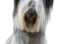 Skye terrier / This board is about the Skye terrier, a rare, endangered breed that is greatly loved by me.   It includes photos and information found here as well as photos of my own beloved Skyes.