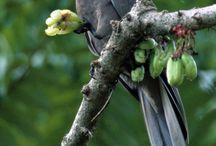 """Coracopsis / Il genere Coracopsis comprende due specie di pappagalli comunemente noti come vasa minore e vasa maggiore: si tratta probabilmente della più primitiva, dal punto di vista evolutivo, specie di pappagalli attualmente esistente sul pianeta. Lo stesso termine """"coracopsis"""" in latino significa """"simile al corvo"""""""