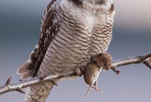Eulen | LigaVogelschutz / Faszinierende Jäger. Unsere Eulen. Lautlos durchstreifen sie die Nacht. Der Schutz dieser tollen Vögel ist ein wichtiges Ziel von LigaVogelschutz. Mit der Schaffung von Brutmöglichkeiten in Städten und Kommunen lassen sich Eulen gezielt fördern und Ratten bekämpfen.