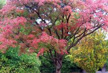 Acer trees / Trees