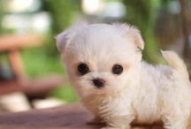 Cute puppy / White pup