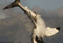 HD Sharks