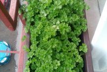 VLADĚNČINO / pěstování na balkoně