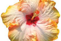HibisKISS™ / HisbisKiss flowers by Altman Plants are the best varieties that modern hibiscus breeding has to offer.