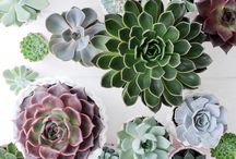 &ECHEVERIA / The perfect succulent for your home or office!