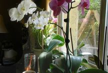 Orchids / Orchids are pretty easy to grow.  I love orchids and grow them in our front porch and in the kitchen window.