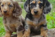 I WANT A DOXIE