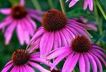 Pollinator Garden / Plants for bees, butterflies, and birds.