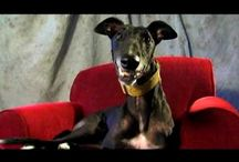 Pets: Greyhounds / Greyhounds: Loveable couch potatoes!