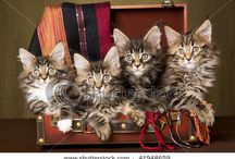 """Maine Coons / Maine Coons are like cats with souls of dogs.  These """"gentle giants"""" are friendly, funny, highly intelligent, and striking in their appearance."""