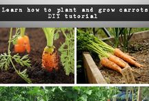 Gardening- Carrotts