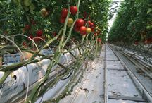 Golden Grow - Hidroponía y materia prima / Producción profesional de plantas