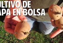 Cómo cultivar papas en bolsa