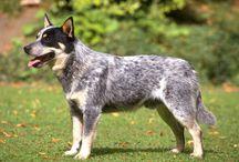 Autralian Cattle Dog, Australian Shepherd, AustralianTerrier.
