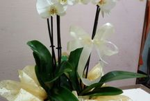 fiori ventrone