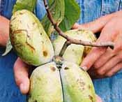 Paw Paws and What to do with them...