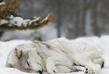 ♥♡wolf♡♥