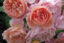 Gardening - to plant - Roses