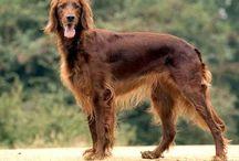 Jagomrádští psi / Vzhled čistokrevných Jagomrádských psů.  Jagomrádští psi mají vyrovnanou stavbu těla podobně jako Kredévané. Průměrná výška je jen o něco menší, kolem 85 cm. Srst je většinou dlouhá a rovná, nicméně se nevylučují krátkosrsté varianty či srst zvlněná. Uši jsou převislé nebo klopené. Čumák je dlouhý, pysky mohou být delší.