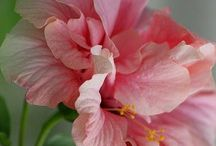 Hibiscus Flowers / Hibiscus Flowers