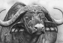 Buffel tekening