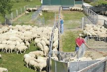 Sheep corrals