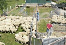 Sheep corrals