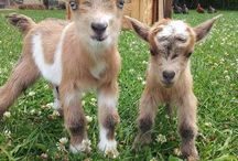 Everybody loves goats / Goats, goats, and more cute goats