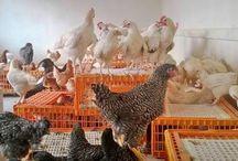 Tavukçuluk / Organik tavuk yumurta www.ahmetsentavukculuk.com
