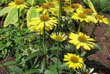 Évelő kerti virágok