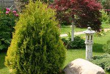 Buskar och barrväxter för rabatten och stenpartiet