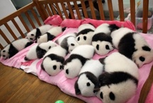 Babby panders