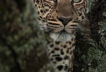 My Totems- Leopards / Reseila is my leopard totem, she is a snow leopard, she has been there always and teaches me patience.