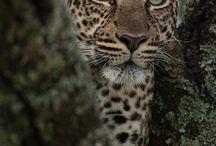 Love Leopards