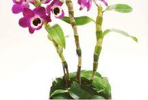 Oquideas / plantas