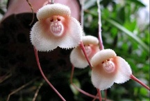 Scimmia orchidea