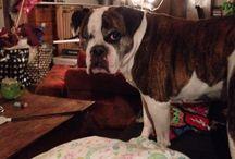Xani / Oldenglish Bulldog