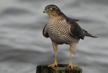 Roofvogel