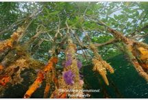 MANGROVE – FOREST OF THE TIDE / Read more https://wvltv.wordpress.com/2015/06/10/mangrove-forest-of-the-tide-2/  ADOPT A MANGROVE  http://www.thorheyerdahlclimatepark.org/product/mangrove-tree/