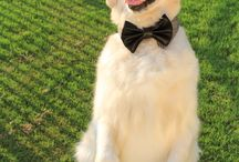 dogs bow tie
